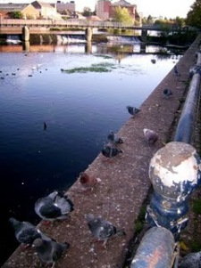 Pigeons at the canal in Leicester