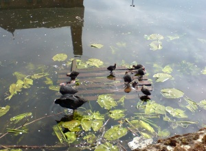 A coot with her babies in the canal at the Rally Park