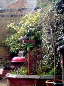 Wood pigeon feeding in the garden