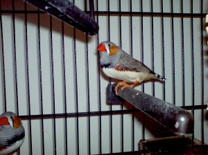 My zebra finches- a little easier to spot and still unnamed!