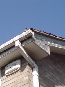 A House sparrow or a Wren? in the guttering of a house opposite my parents house