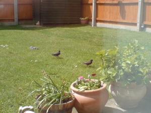 Two young starlings in the garden
