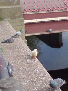 Yellow (albino) pigeon at Evan's Weir near to the Rally Park