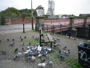 Wed 13 Oct 68 pigeons