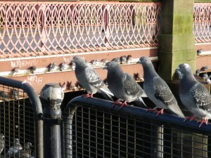 Wed 27 Oct 112 pigeons