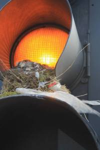 A family of Mistle Thrush in a traffic light in Leicester