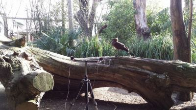 Hammerkop at Durrell Wildlife Conservation Trust